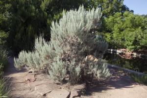 Купить семена, растение – Полынь трехзубчатая (Artemisia tridentata)