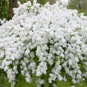 Купить семена, растение – Экзохорда кистистая, Струноплодник (Exochorda racemosa)