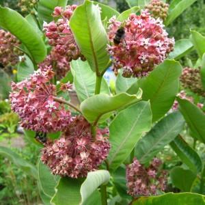 Купить семена, растение – Ваточник сирийский (Asclepias syriaca)