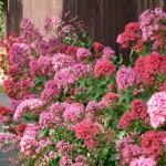 Купить семена, растение – Валериана красная, или Кентрантус (Centranthus ruber)
