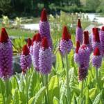 Купить семена, растение – Примула Виаля, или орхидная (Рrimula vialii)