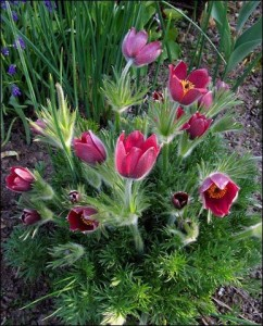 Купить семена, растение – Прострел красный, Сон-трава (Pulsatilla vulgaris)