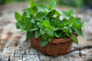 Купить семена, растение – Мята перечная (Mentha piperita)