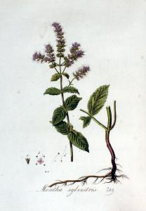 Купить семена, растение – Мята лонфифолия (Шандра обыкновенная)