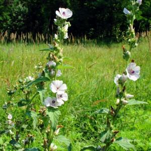 Купить семена, растение – Алтей Лекарственный (Althaea officinalis)