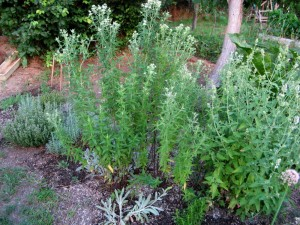 Купить семена, растение – Мята горная, или Американская мята (Pycnanthemum pilosum)