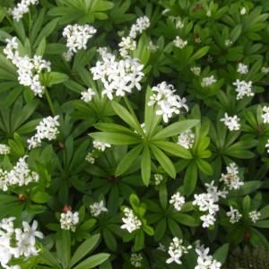 Купить семена, растение – Подмаренник душистый, или Ясменник пахучий (Galium odoratum)