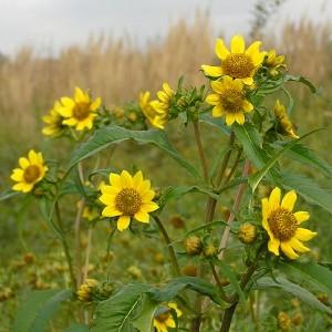 Купить семена, растение – Череда трехраздельная (Bidens tripartita)