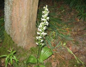 Купить семена, растение – Любка двулистная (Platanthera bifolia)