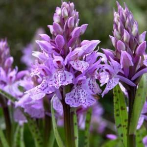 Купить семена, растение – Пальчатокоренник пятнистый (Dactylorhiza)