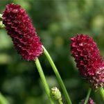 Купить семена, растение – Кровохлебка лекарственная (Sanguisorba officinalis)