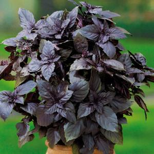 Купить семена, растение – Базилик Орион (фиолетовый)