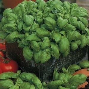 Купить семена, растение – Базилик Карамельный