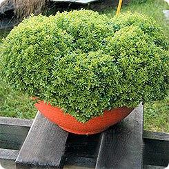 Купить семена, растение – Базилик Компатто
