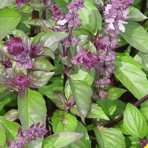 Купить семена, растение – Базилик коричный (мексиканский) Циннамон
