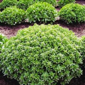 Купить семена, растение – Базилик гвоздичный