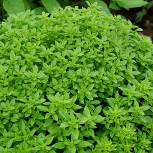 Купить семена, растение – Базилик декоративный Сфера