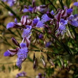 Купить семена, растение – Истод тонколистный (Polygala tenuifolia)