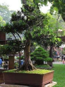 Купить семена, растение – Подокарпус, или Ногоплодник (Podocarpus Gracilior)