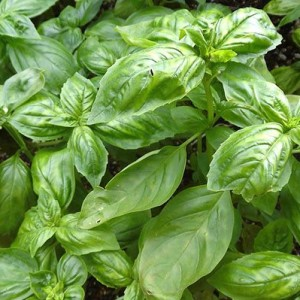 Купить семена, растение – Базилик овощной Аромат лимона