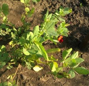 Купить семена, растение – Спаржевый горох (Psophocarpus tetragonolobus)
