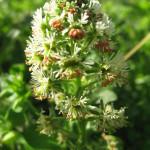Купить семена, растение – Резеда душистая (Reseda odorata)