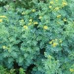 Купить семена, растение – Рута душистая (Ruta graveolens)