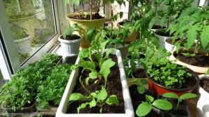 Огородик на подоконнике
