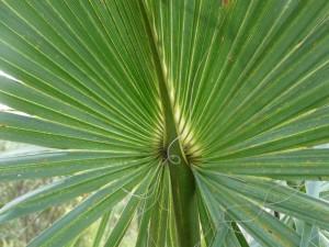 Купить семена, растение – Сабаль Пальметто (Sabal palmetto)