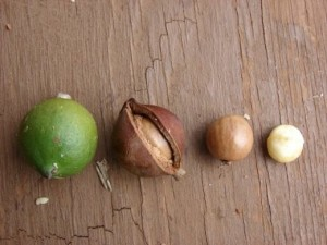 Купить семена, растение – Орех Макадамия, Киндаль (Macadamia integrifolia)