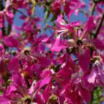 Купить семена, растение – Сейба великолепная (Ceiba speciosa)