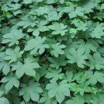 Купить семена, растение – Хмель японский Окинава (Humulus japonicus)