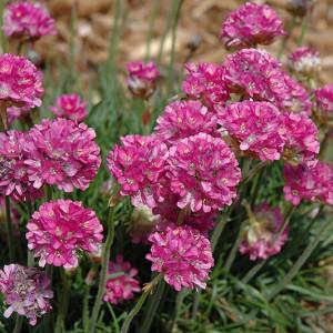 Купить семена, растение – Армерия приморская (Armeria maritima)