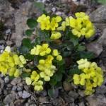 Купить семена, растение – Сурепка каменная (Barbarea Rupicola)