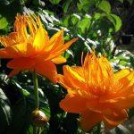 Купить семена, растение – Купальница азиатская (Trollius asiaticus)