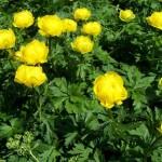 Купить семена, растение – Купальница европейская (Trollius europaeus)