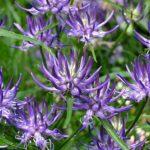Купить семена, растение – Кольник Шейхцера (Phyteuma scheuchzeri)