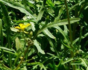 Купить семена, растение – Двурядник тонколистный Эйфория (Diplotaxis tenuifolia)
