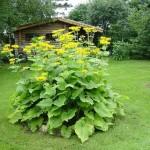 Купить семена, растение – Девясил лекарственный (Inula helenium)