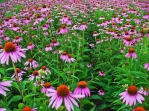 Купить семена, растение – Эхинацея лекарственная (Echinacea purpurea)
