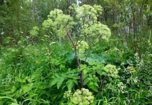 Купить семена, растение – Дудник лекарственный (Archangelica officinalis)