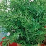 Купить семена, растение – Тмин овощной Аппетитный (Carum carvi)