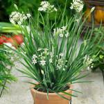 Купить семена, растение – Лук душистый Пикантный (Allium ramosum)
