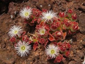 Купить семена, растение – Хрустальная травка (Mesembryanthemum crystallinum)