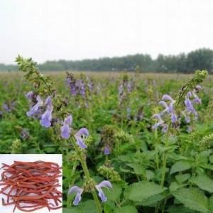Купить семена, растение – Шалфей краснокорневищный (Salvia miltiorrhiza)
