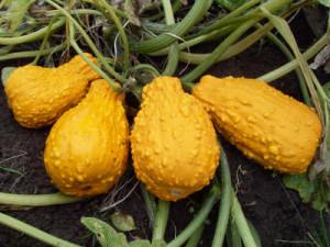 Купить семена, растение – Крукнек Скрудж, или Кривошейка