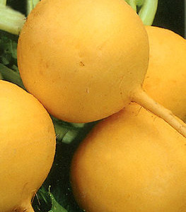 Купить семена, растение – Репа Голден Болл (Brassica rapa)