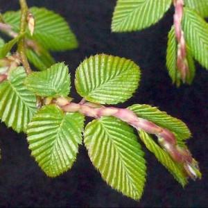 Купить семена, растение – Граб Турчанинова (Carpinus turczaninowii или turczaninovii)