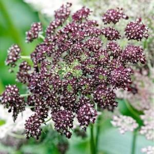 Купить семена, растение – Морковь дикая Фиолетовые поцелуи (Daucus carota PURPLE KISSES)