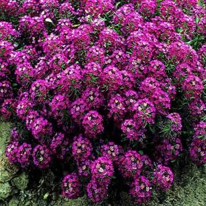 Купить семена, растение – Алиссум Фиолетовый каскад